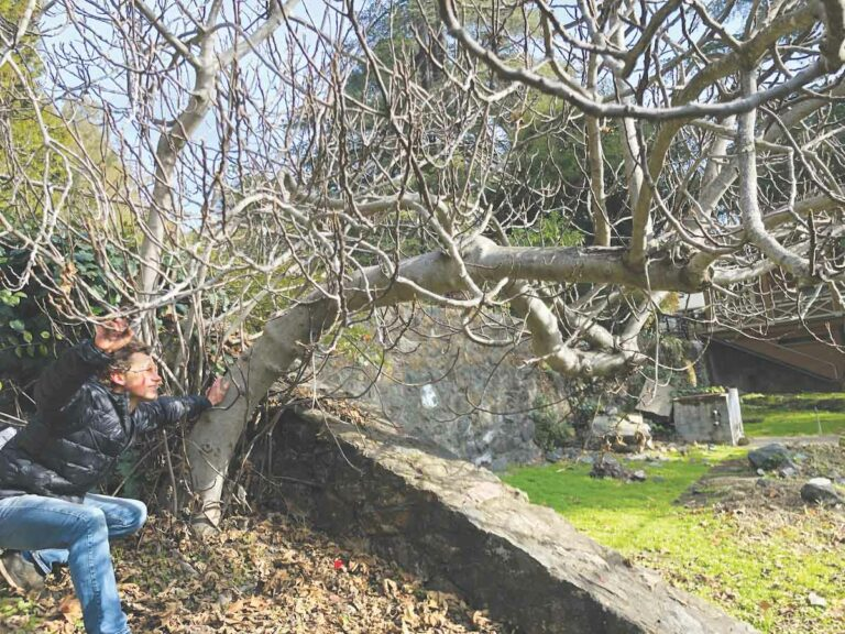 Fig Hunter: Cult fruit has admirers but at what cost to native flora?